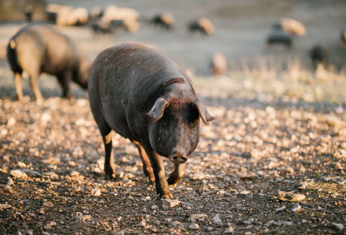 Las mejores partes del cerdo ibérico. ¡Conócelas!